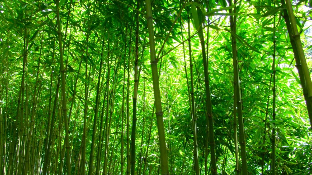 Bambú en Jardim Tropical Monte Palace
